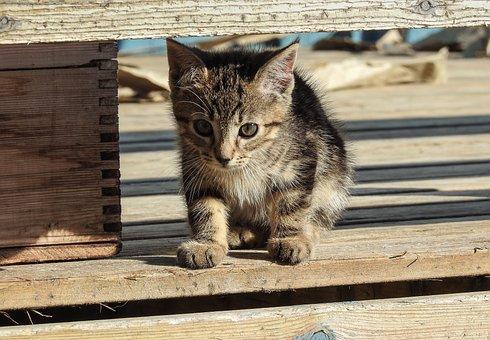 Kitten, Cat, Pet, Animal, Cute, Feline