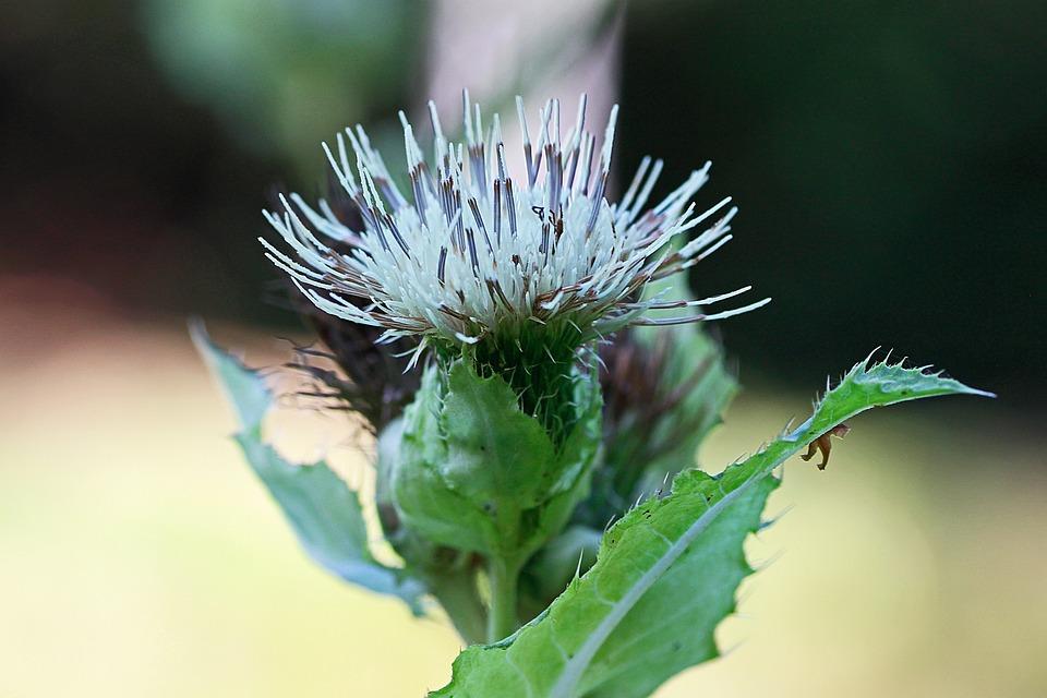White thistle plant free photo on pixabay white thistle plant thistle prickly close up flora mightylinksfo