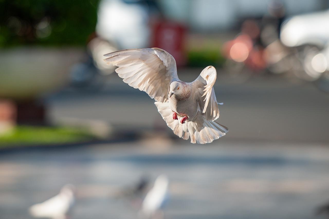 представитель голубь картинка при полете кто домашних условиях