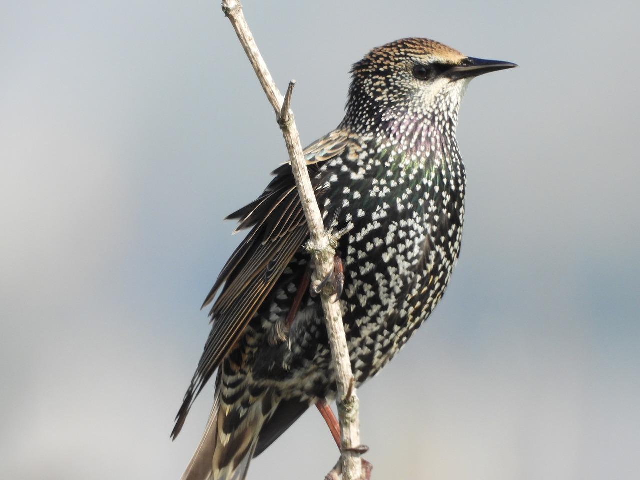 строительства всех скворцы перелетные птицы или нет расскажем самых интересных