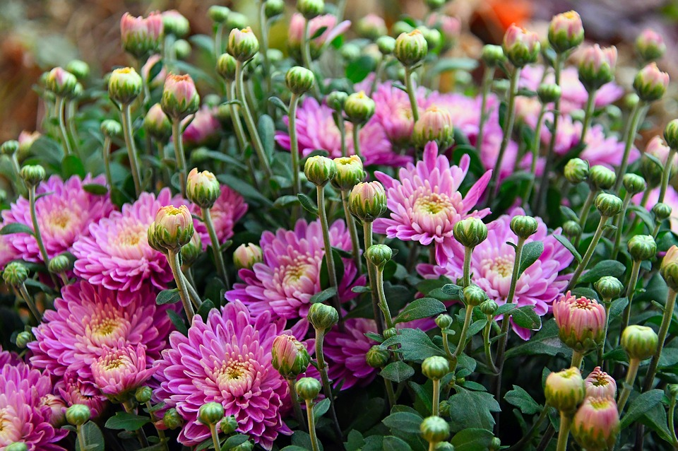 Autumn fall flowers chrysanthemum free photo on pixabay autumn fall flowers chrysanthemum pink chrysanthemum mightylinksfo