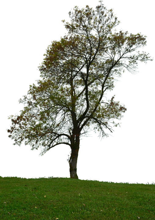 Baum Ohne Hintergrund Mit Kostenloses Bild Auf Pixabay
