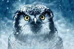 ptak, sowa, oczy
