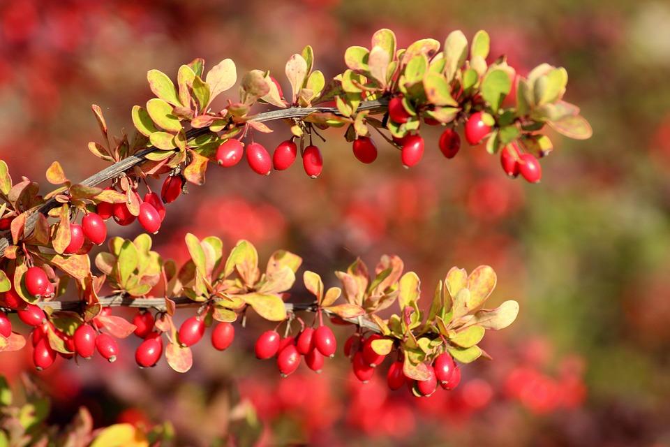 Crespino, Frutti Rossi, Autunno, Rosso, Natura