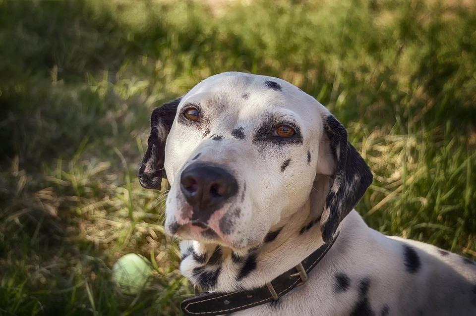 Dalmatian Dog Cute - Free photo on Pixabay