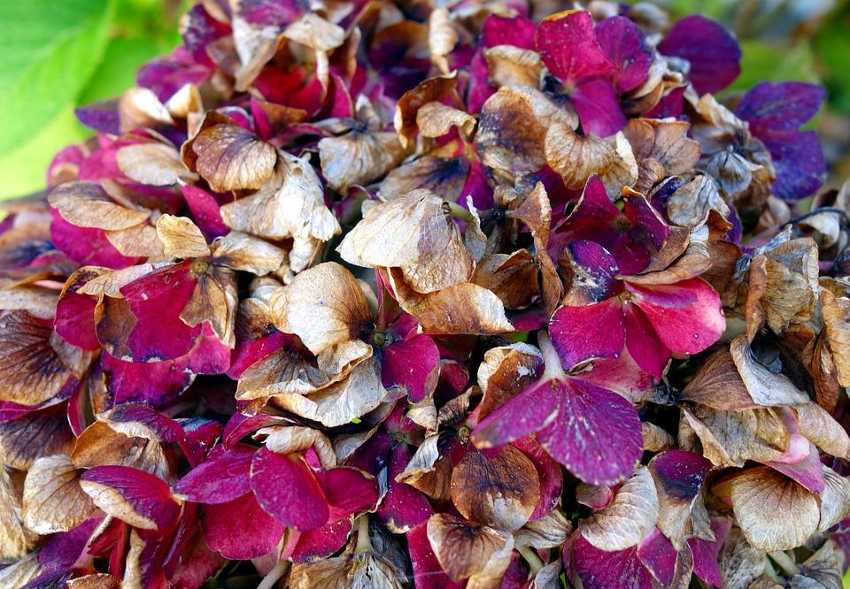 Hortensie Verbluht Blume Kostenloses Foto Auf Pixabay