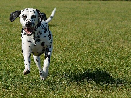 Dalmatian, Dog, Animal, Pet, Mammal