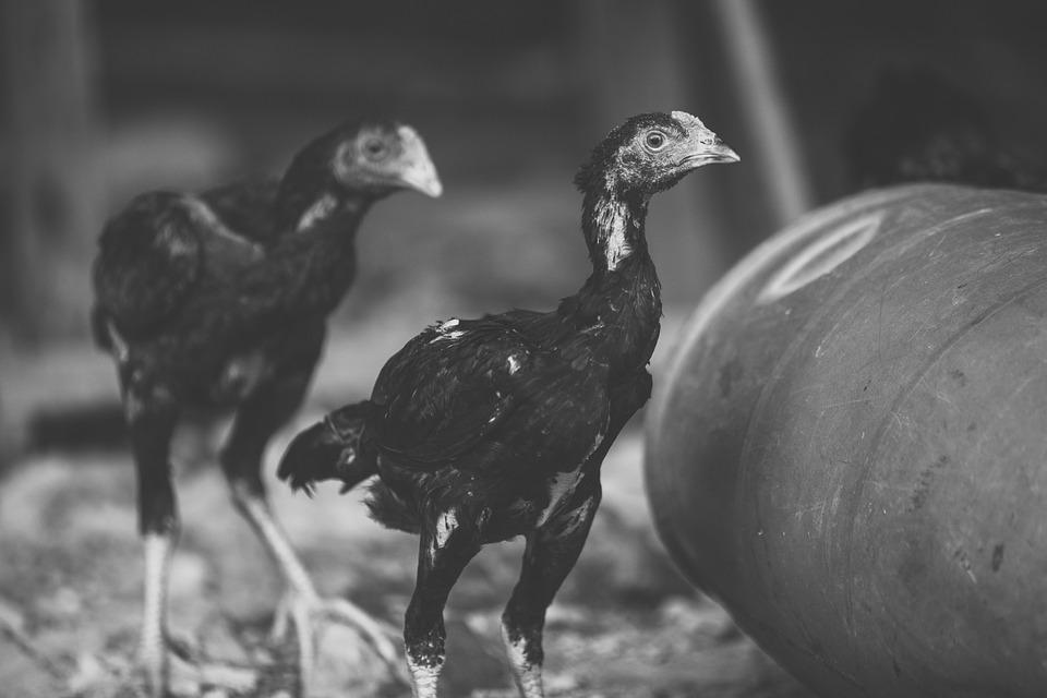 Gratis svart kyllinger