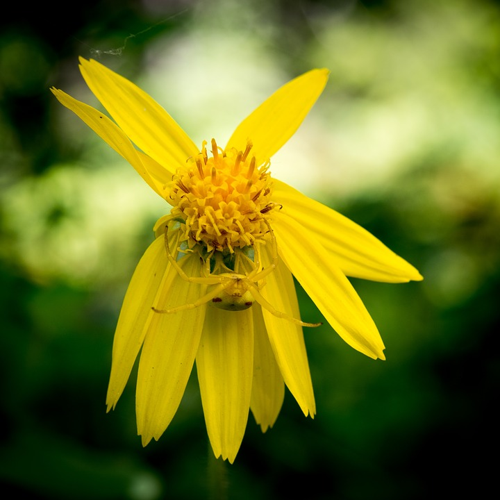 Heart-Leaved Arnica, Crab Spider, Flora, Flowers