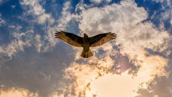 Buzzard, Bird Of Prey, Animal, Bird