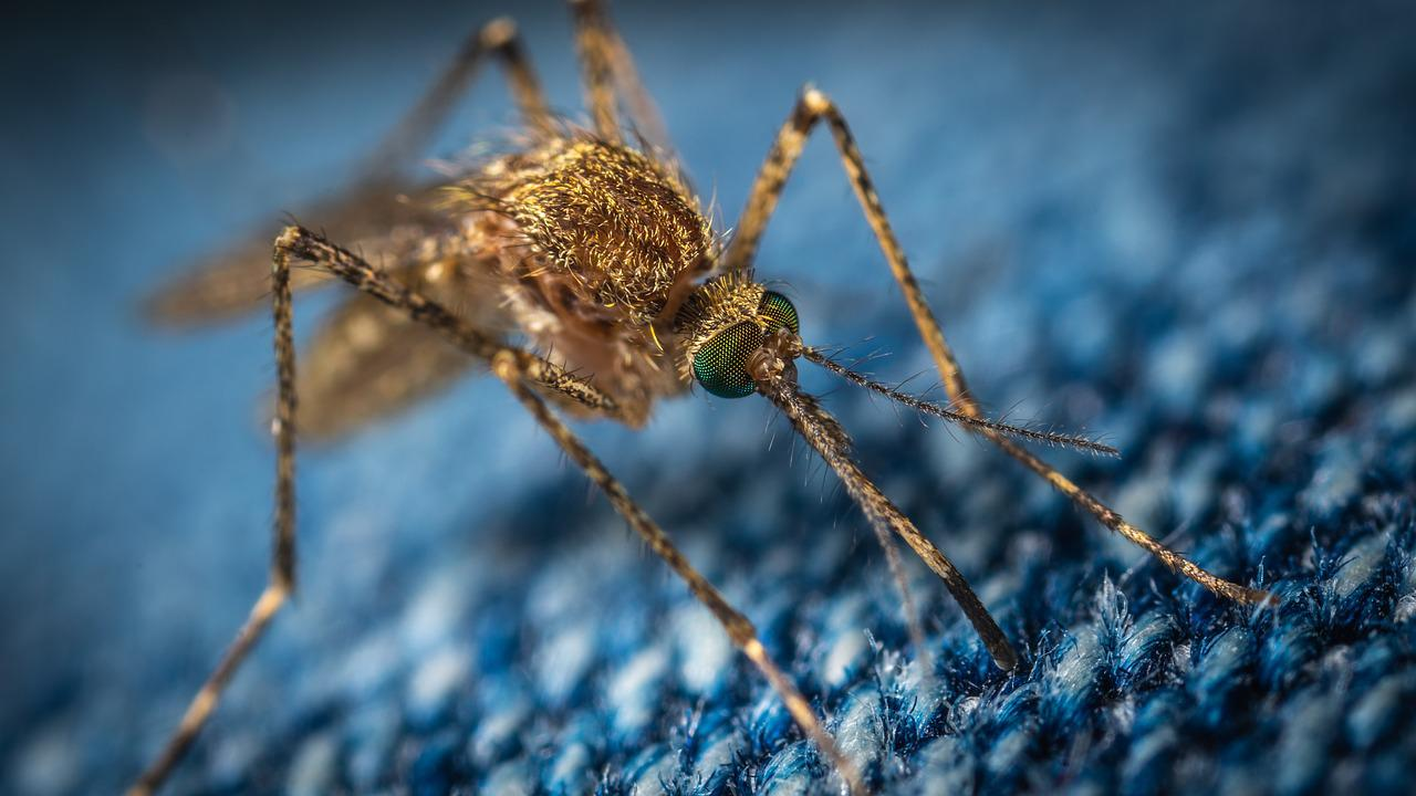 Mosquitoes have teeth.