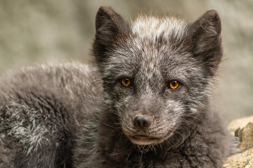 Lis Arktyczny, Dzikich Zwierząt, Wildlife Park