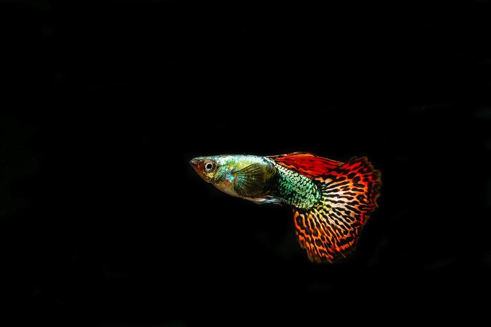 Guppies, Ornamental Fish, Pet