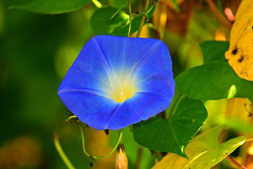 Morning Glory, Flower, Plant, Blue, Lead