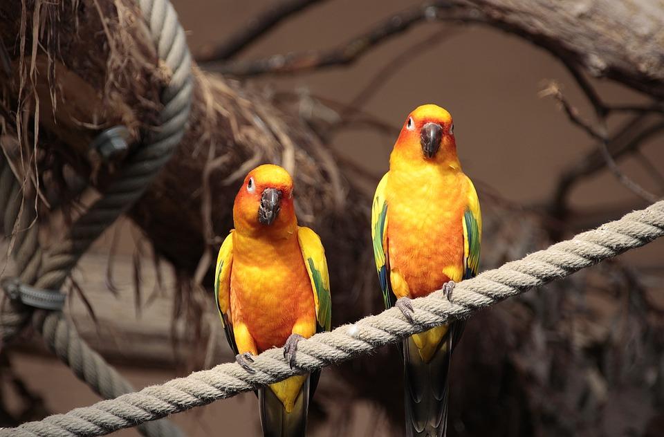 Zon Parkiet, Dierlijke, De Natuur, Vogel, Close-Up