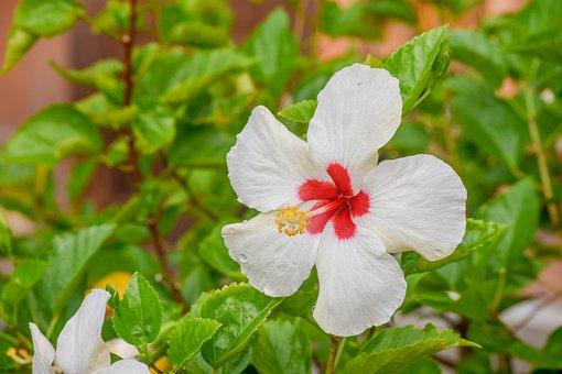 Hibiscus, White, Bunga Raya, Putih