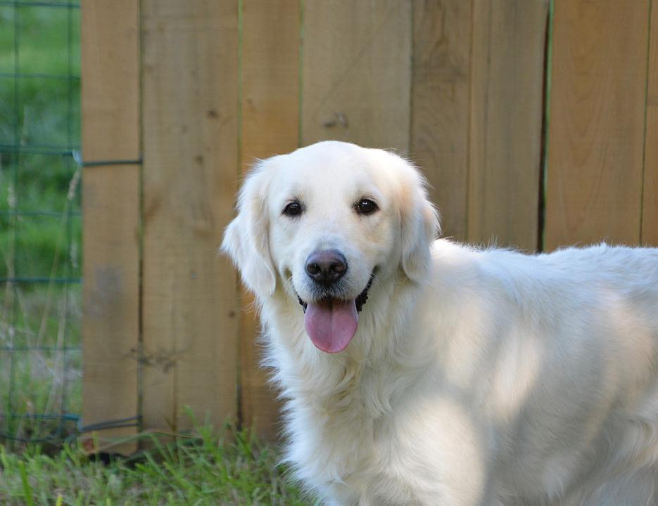 Anjing Golden Retriever Foto Gratis Di Pixabay