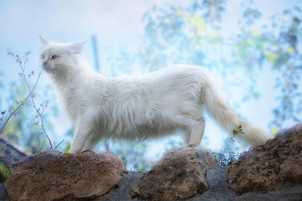Cat, White, Kätzchen, Haustiere, Katzenartige, Hübsch