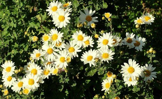 Chrysanthemum images pixabay download free pictures chrysanthemum white flowers garden mightylinksfo