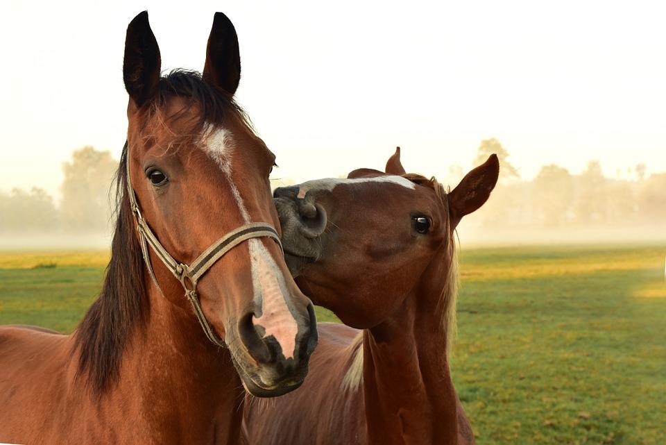 Cavalli, Bacio, Ascolta, Affetto, Accoppiamento, Prato