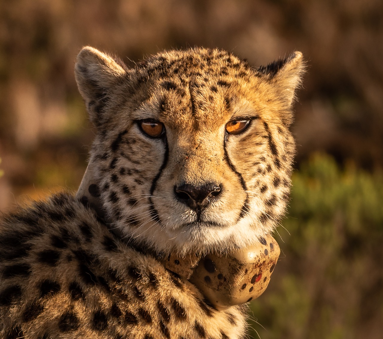 Морда гепарда картинки