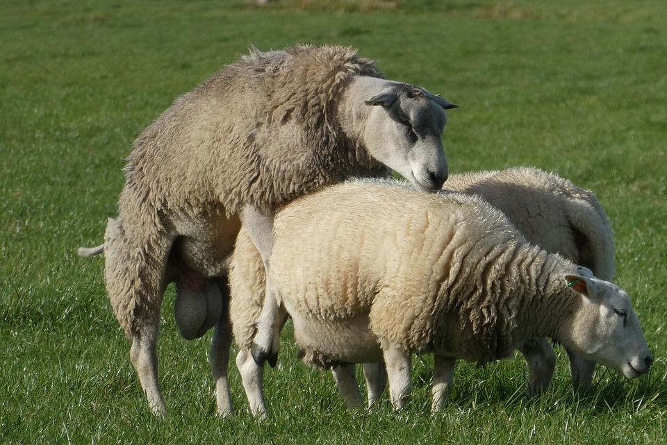 Schafe Als Rasenmäher Mieten