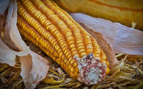 В Тамбовской области зерновая копилка продолжает пополняться за счет урожая кукурузы