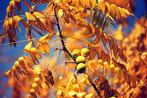 英語のクルミ, 果物, 支店, 秋, クルミレジア, クルミ, 黄色の葉