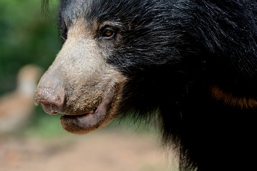 Sloth Bear Female