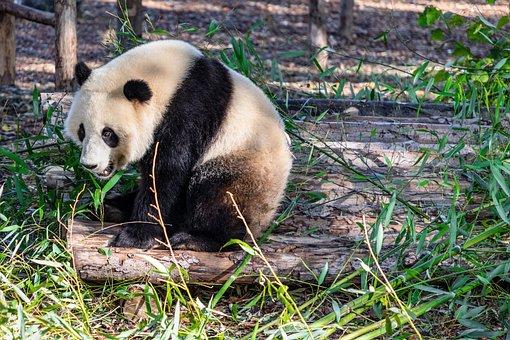 Panda, Giant Panda, Bear, Mammal