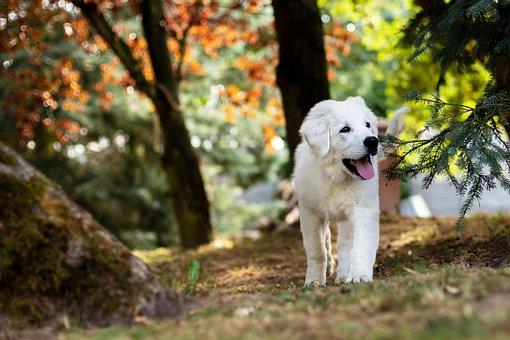 Dog, Puppy, Sheep-Dog, Biala, Animals, pandemic puppy