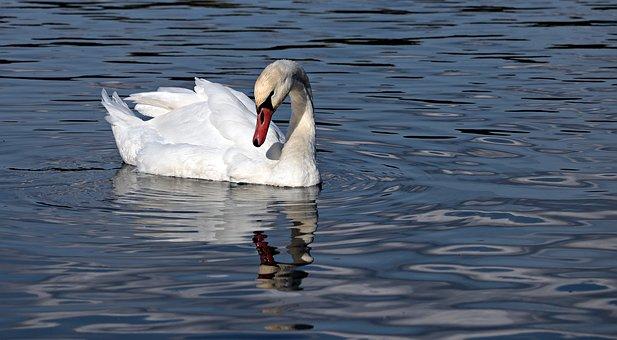 swan-3752746__340.jpg