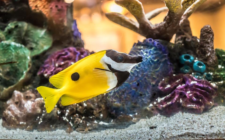 Foxface Vis, Coral, Tropische, Onderwater, Exotische