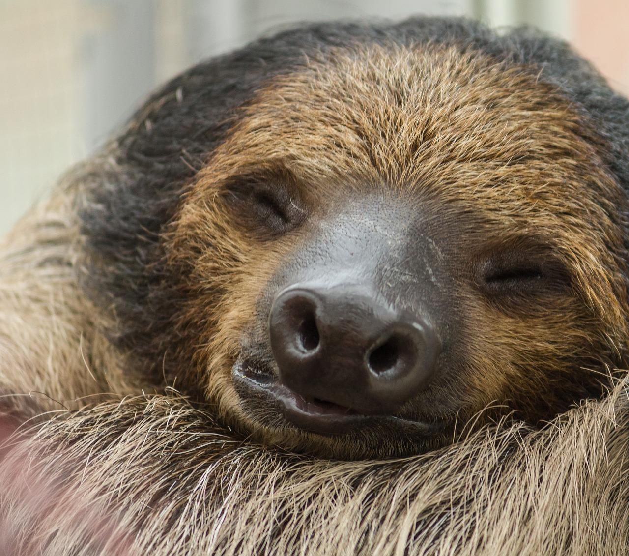 地球上最懒的哺乳动物——树懒,它们是怎么存活下去的?