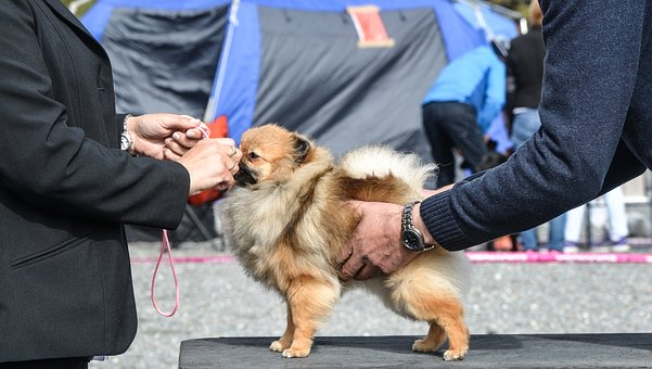 Dog Show, Pomeranian, Dog, Pet, Animal