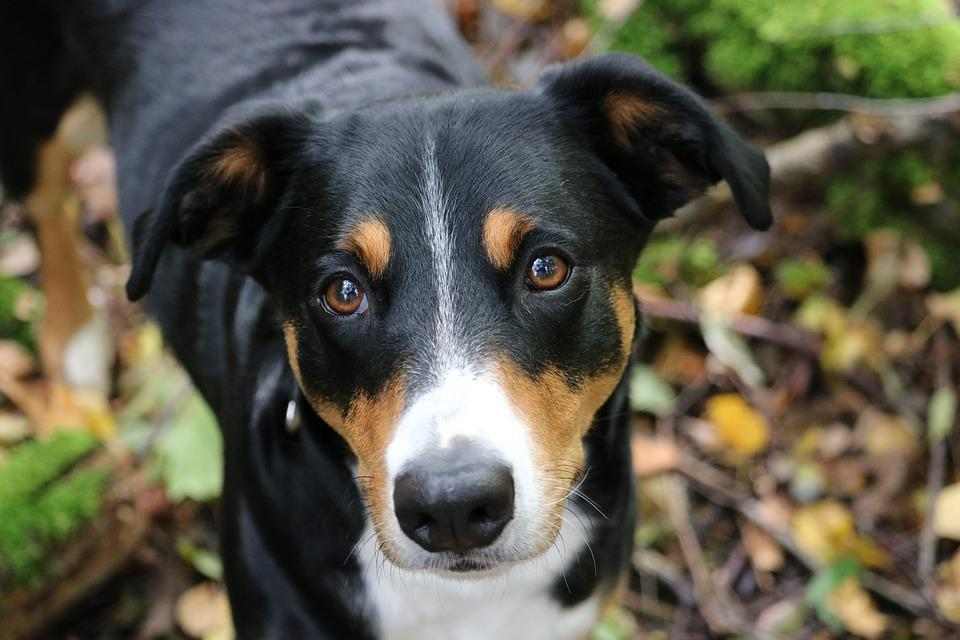 Appenzeller Sennenhund, Hund, Sennenhund, Herbst