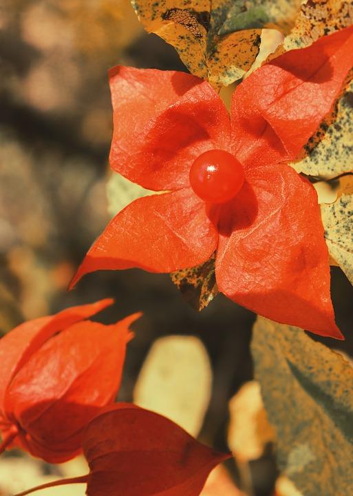 Physalis, La Fleur De La Baie, Fleur Rouge