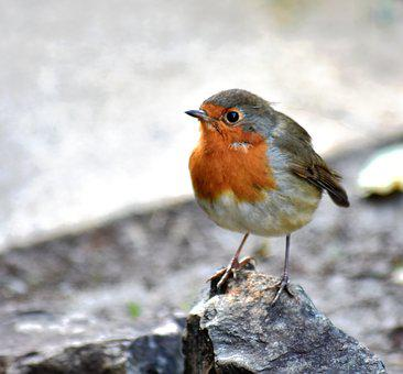 Robin, Red Breast, Bird, Wildlife