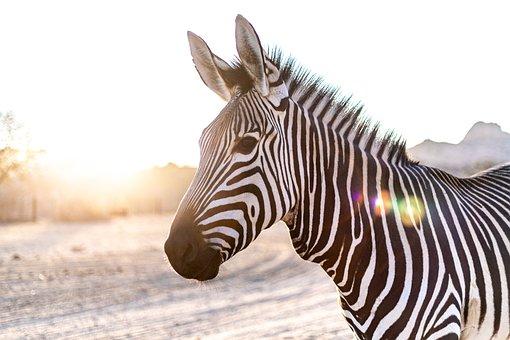 Zebra, Kopf, Gegenlicht, Säugetier