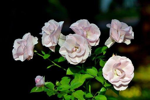 Rózsa, Rose Bush, Virágok, Rózsaszín