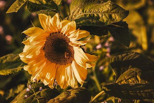 7 000 Free Sunflower Flower Photos Pixabay