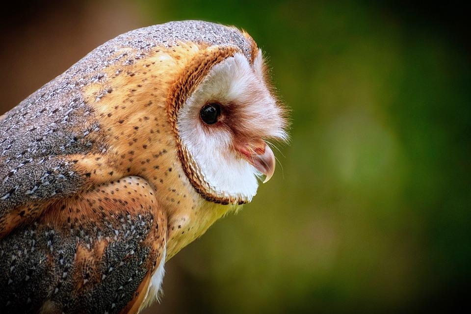 Owl, Barn Owl, Bird, Animal, Nature, Animal World