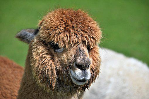Animal Portrait, Alpaca, Brown, Head