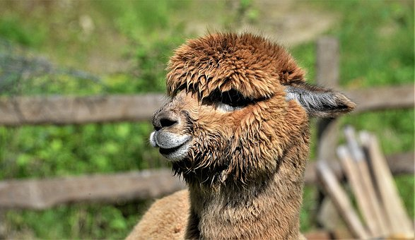 Close Up, Alpaca, Brown, Head, Furry