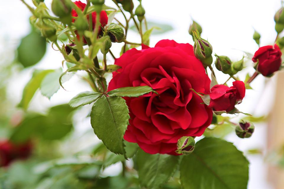 Rose, Rose Bush, Rosewood, Red Rose, Red, Nature, Plant