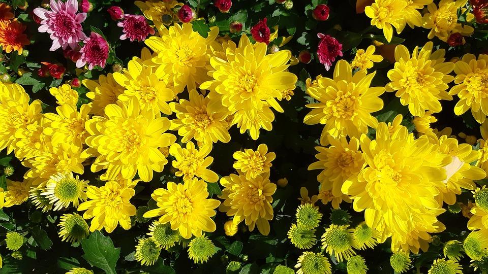 Gelbe Blume Herbst Chrysantheme Kostenloses Foto Auf Pixabay
