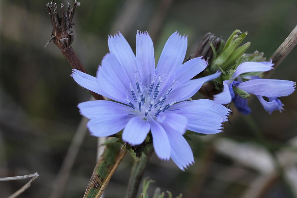 Chicory, Fiori Di Bach, Natura, Fiore, Impianto, Macro