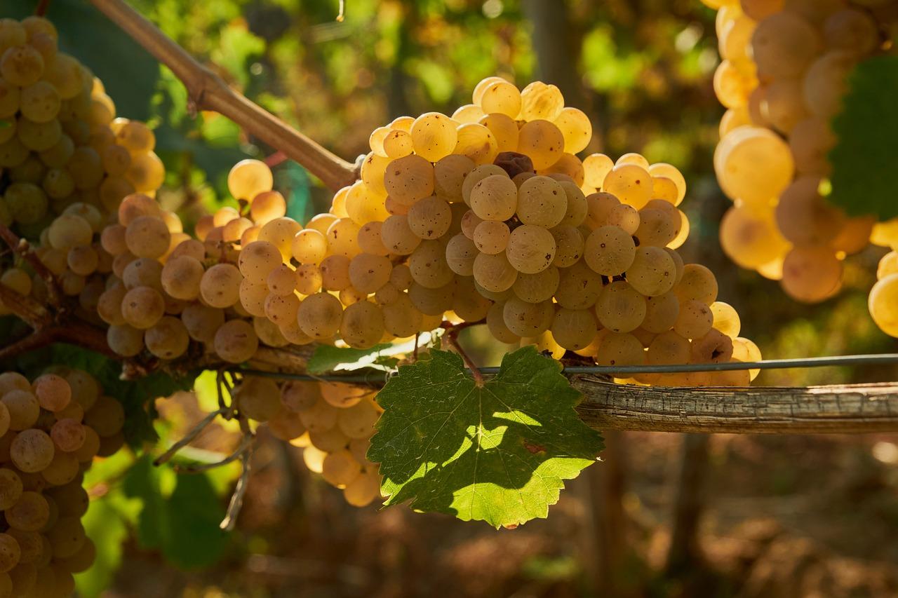красивые картинки виноградной лозы был большой