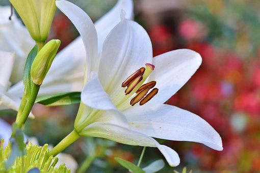9 000 Free Lily Flower Pictures And Images In Hd Pixabay