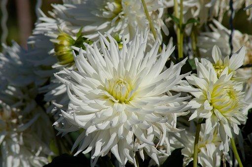 300 Gambar Dahlia Putih Dahlia Gratis Pixabay